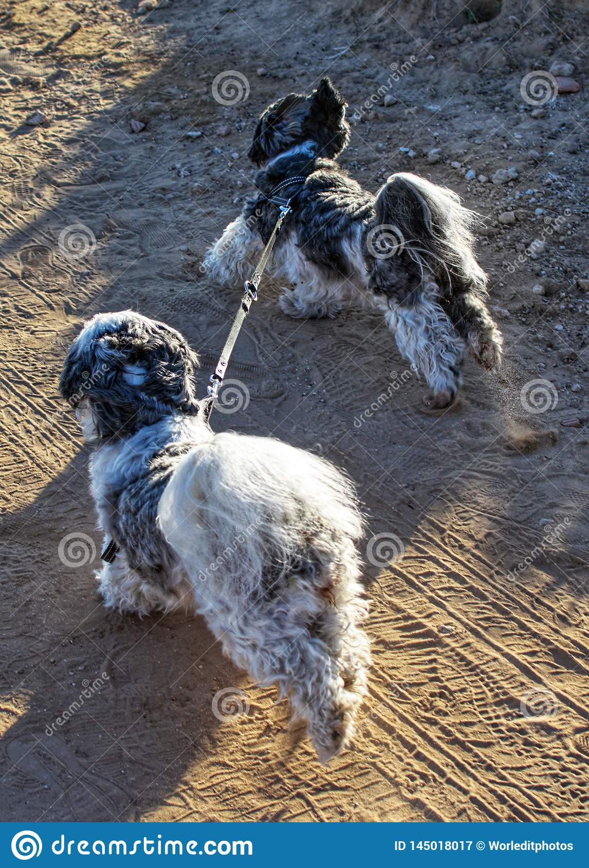 Two Shih Tzu dogs tied up with a leash running by themselves.