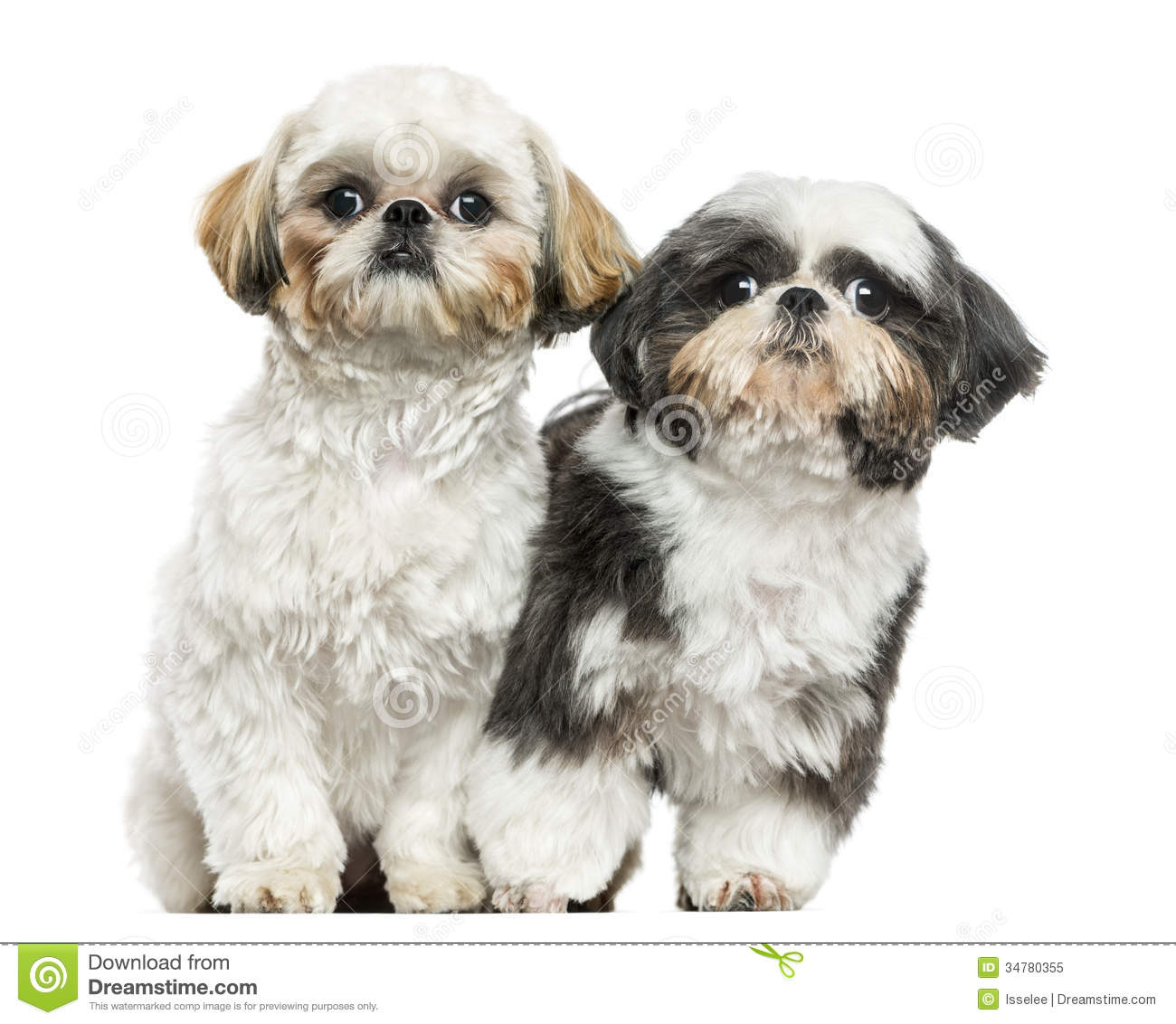 two shih tzus sitting next to each other looking at the camera
