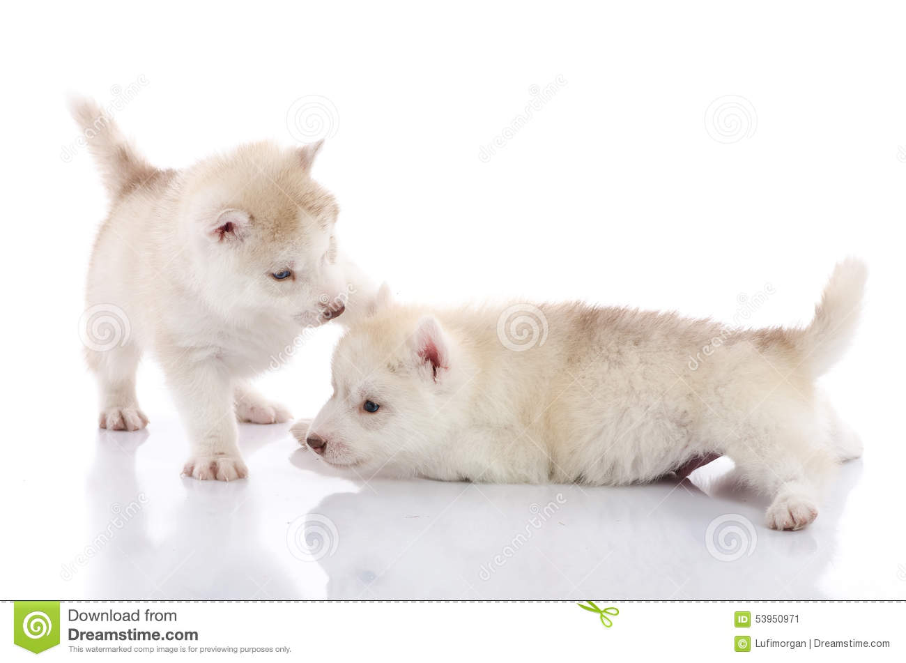 Two Siberian Husky Puppies Playing On White Background Stock