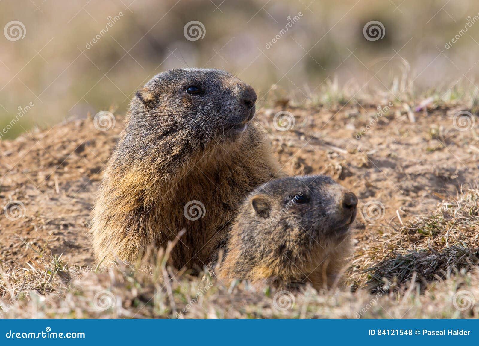 Two sitting groundhogs Marmota monax