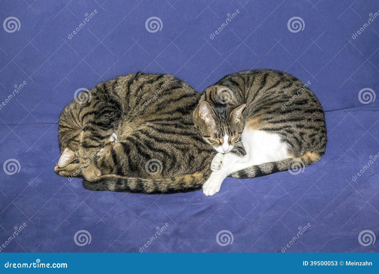 Two sleeping tabby cats