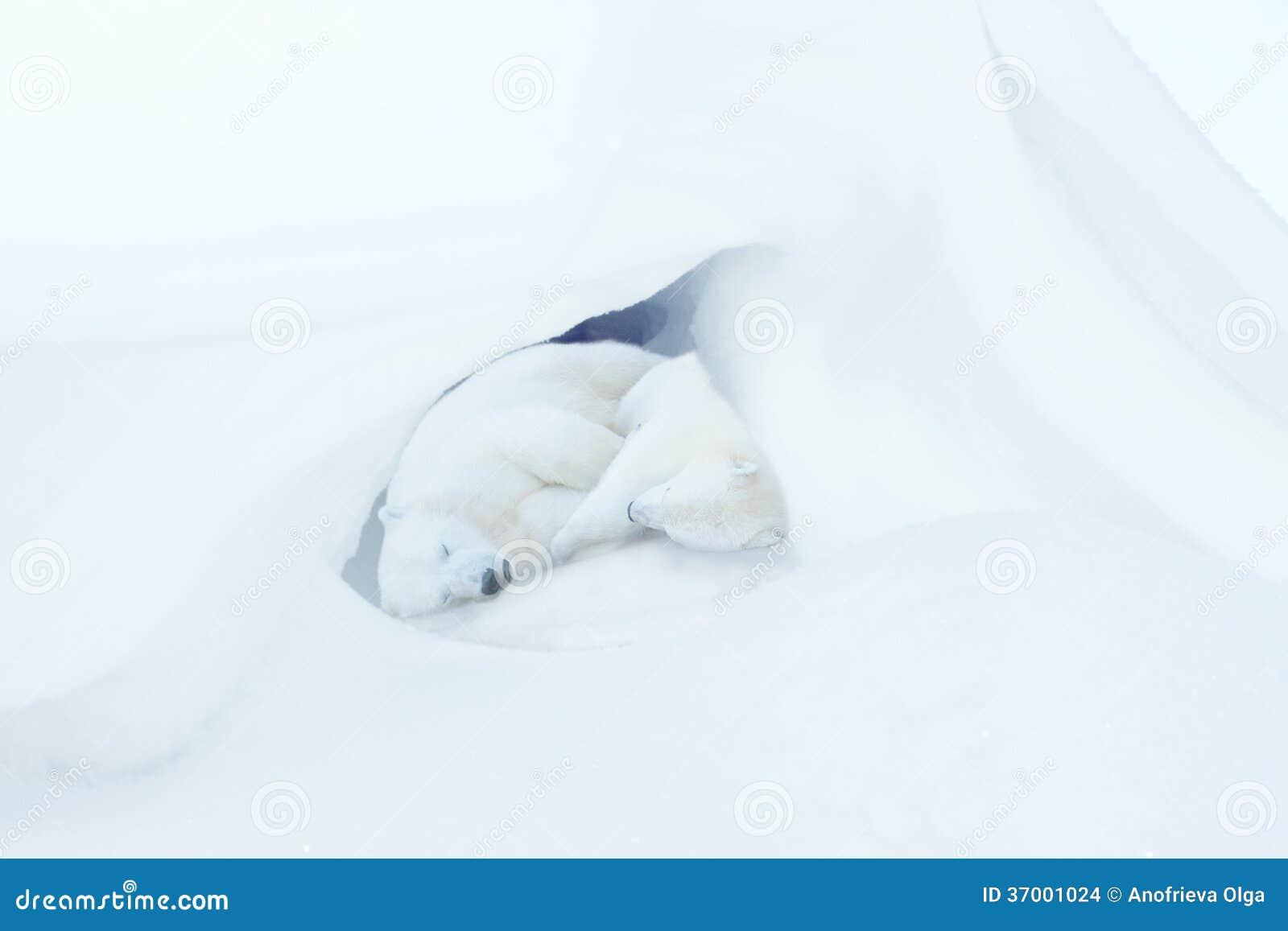 Two sleeping white bear cubs