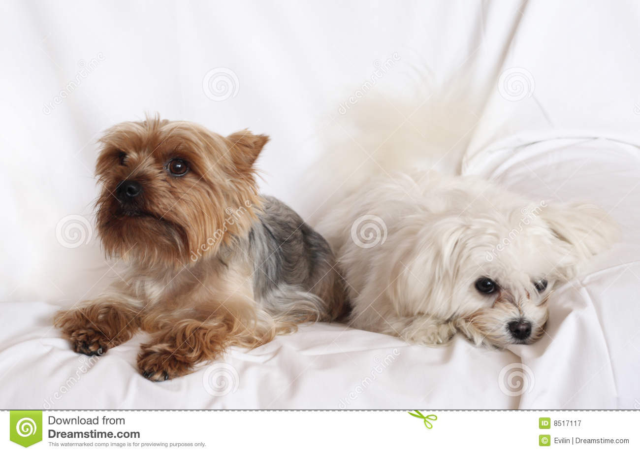 Two Small Dogs Royalty Free Stock Photography - Image: 8517117 Yorkshire Terrier 911