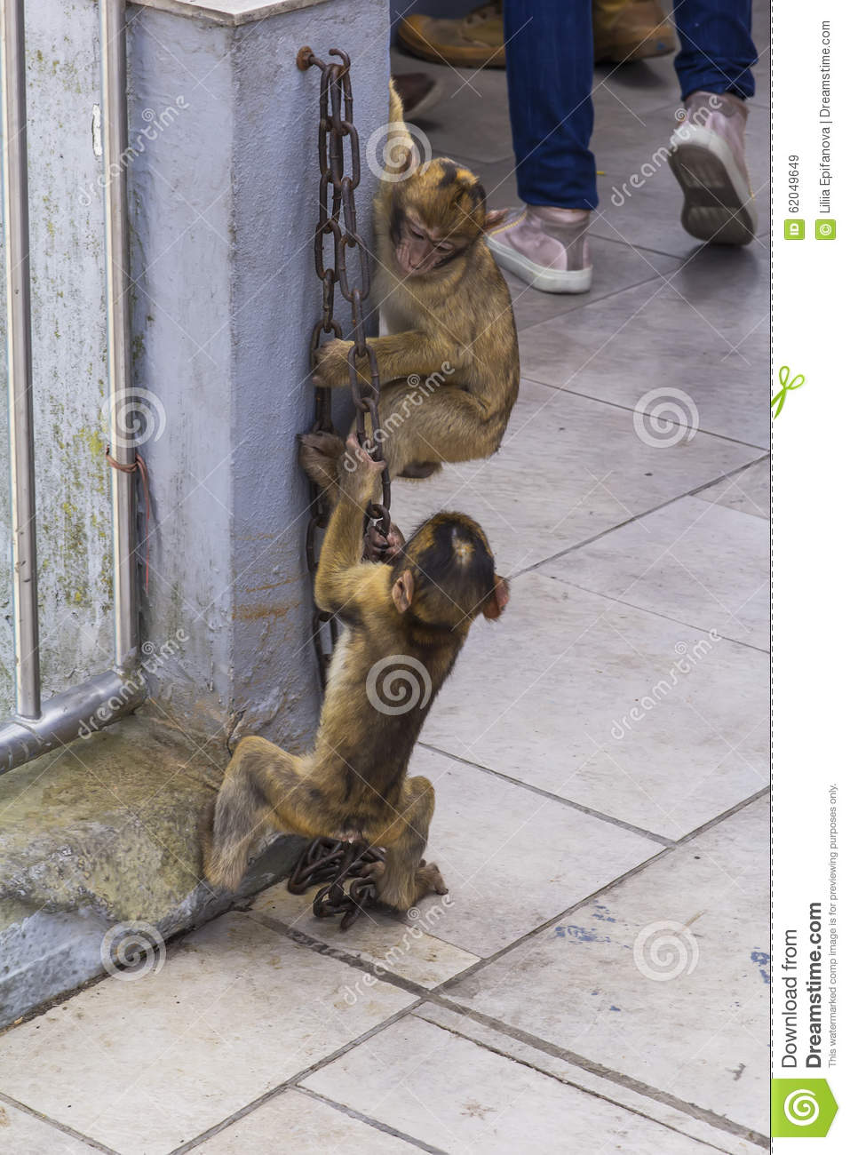 Two small Gibraltar Barbary Macaque monkey play rock with a metal chain on the top of the Rock of Gibraltar