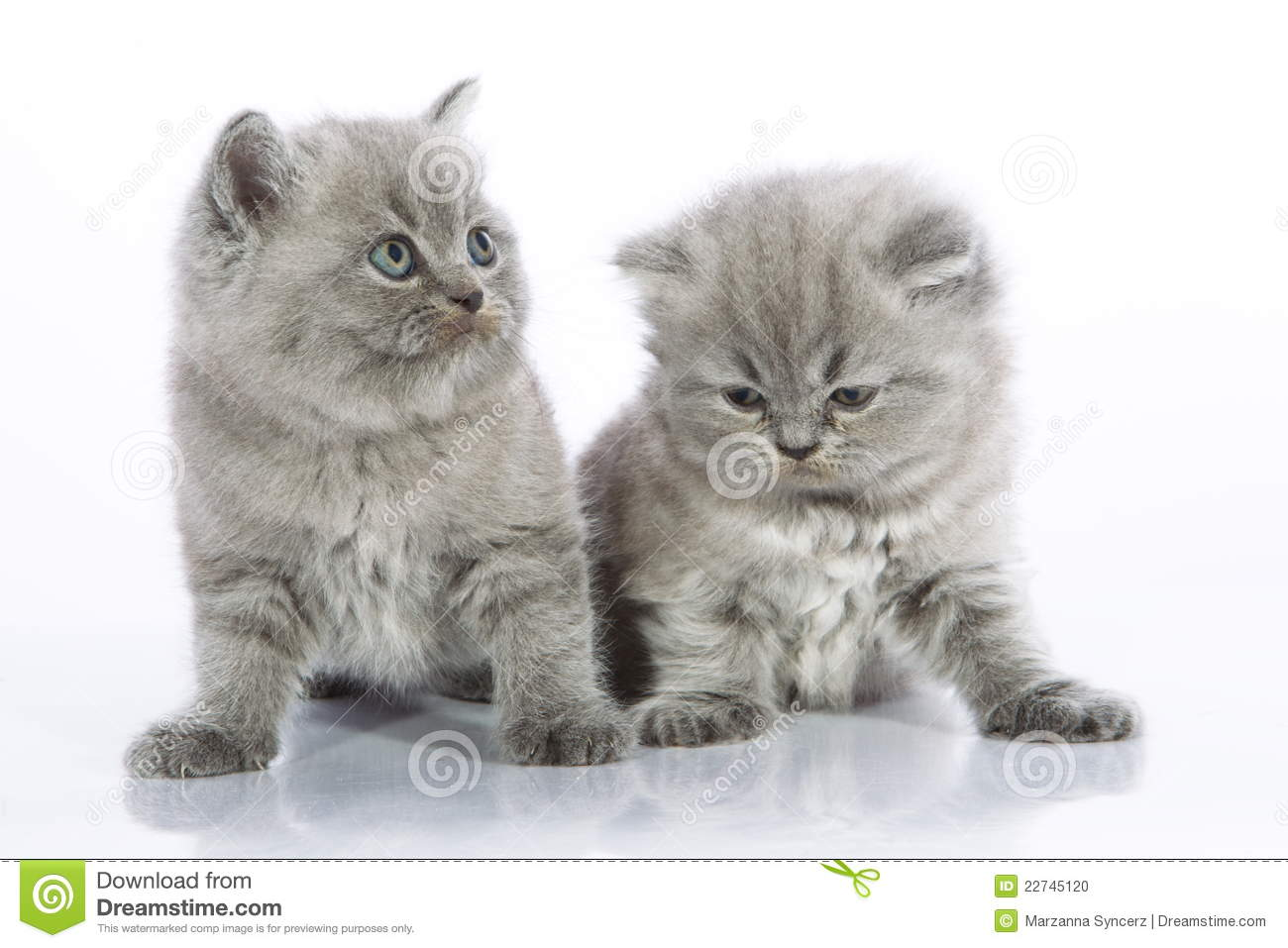 Download Two small gray kittens stock photo. Image of forward - 22745120