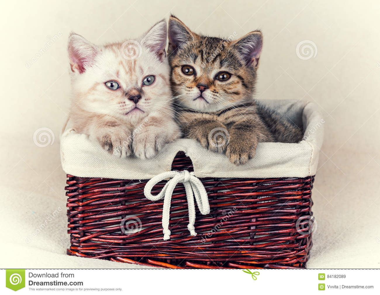 Download Two small kittens stock image. Image of siamese, baby - 84182089
