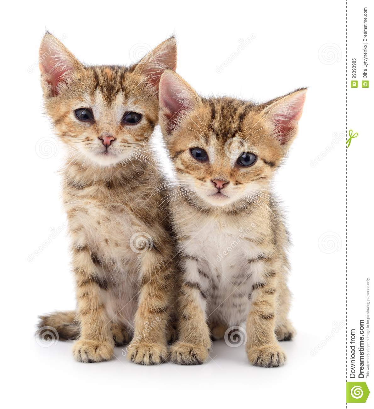 Download Two small kittens. stock image. Image of feline, shot - 99393985