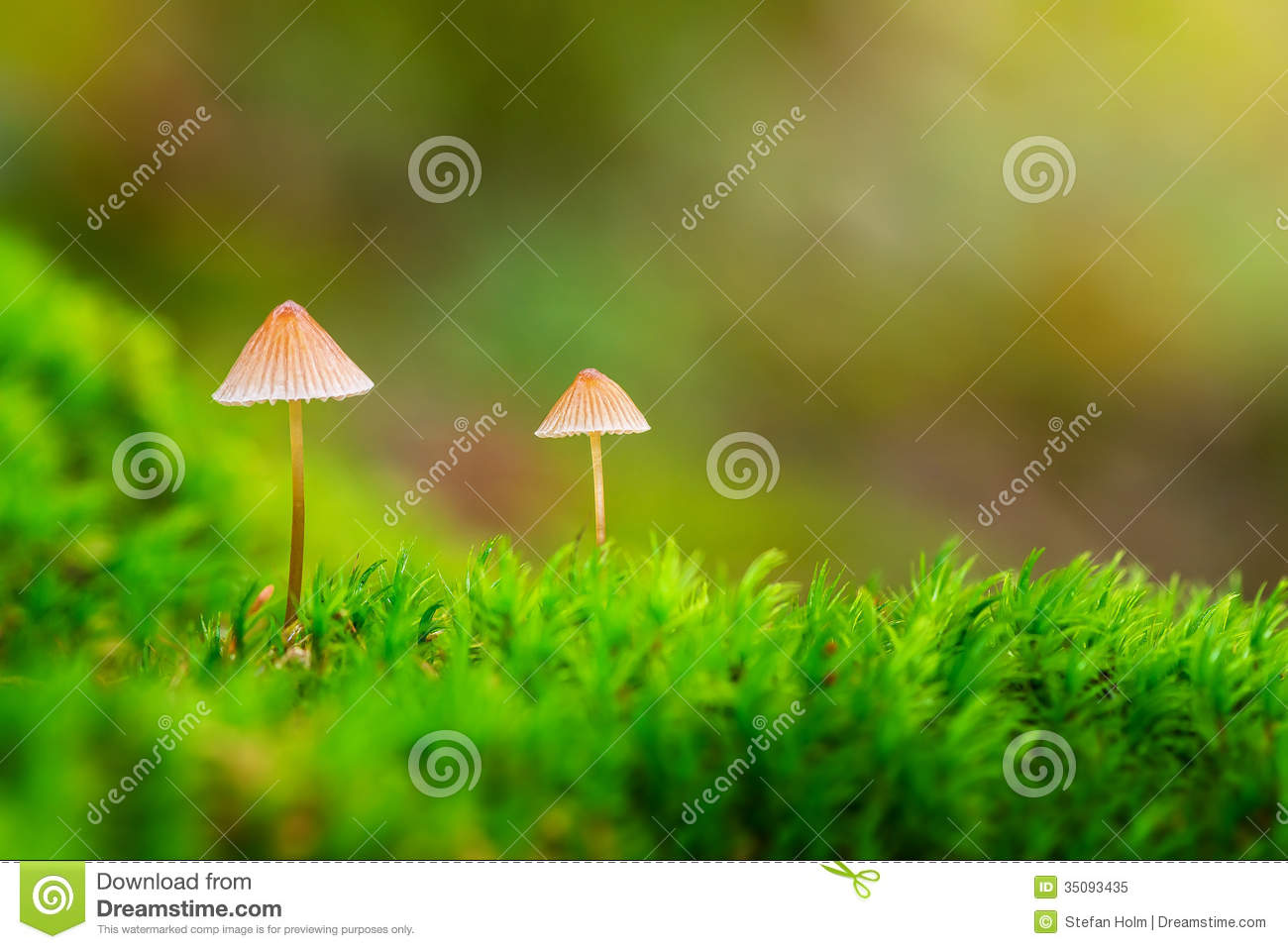 Two small mushrooms in green moss