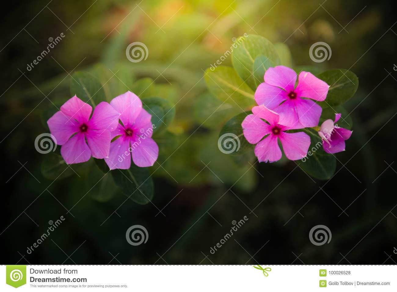 Two small pinks flowers stock photo image of horizontal 100026528 from above two small pink blooming flowers on blurred background in nature mightylinksfo