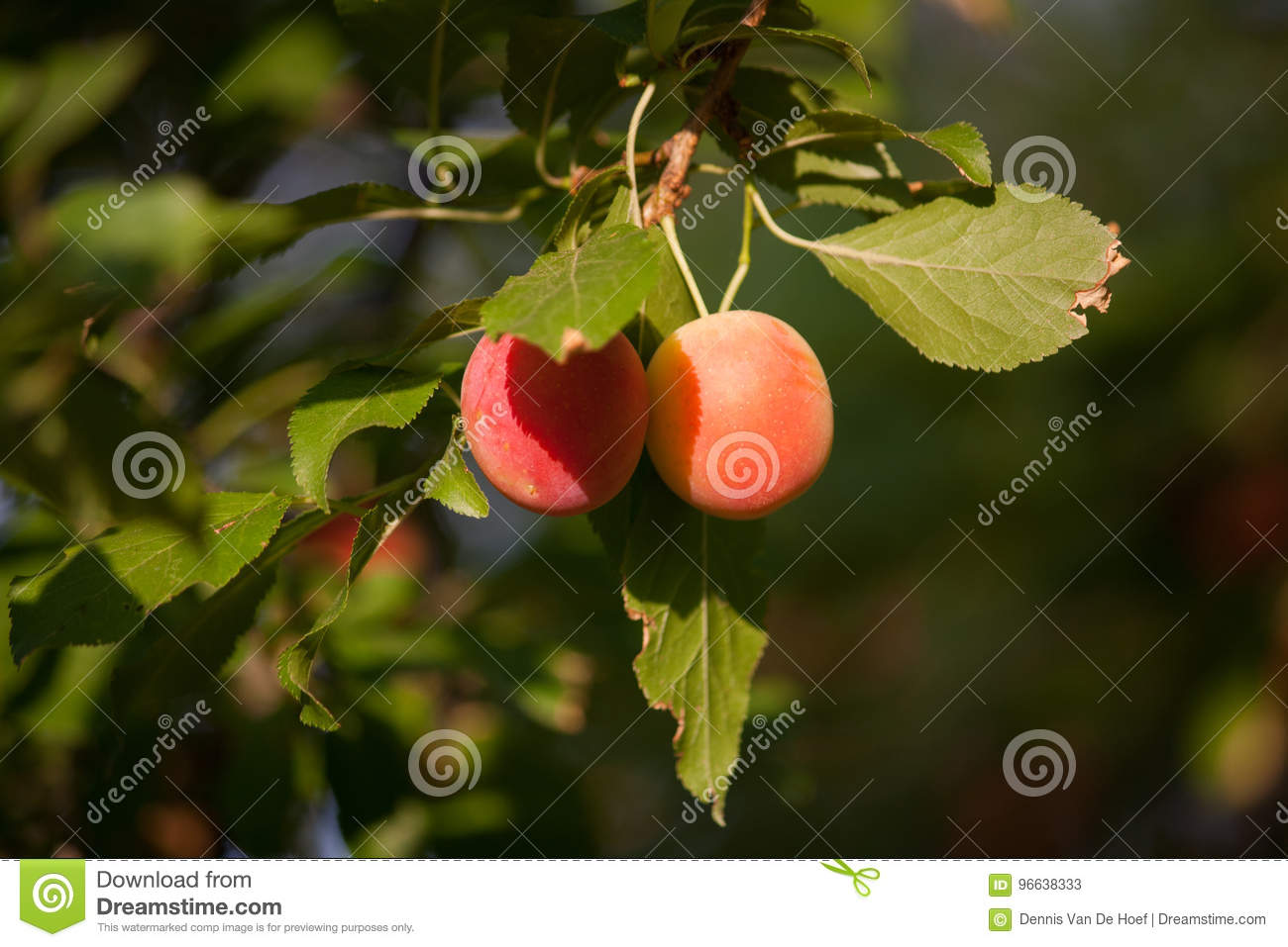 Two small plums hanging.