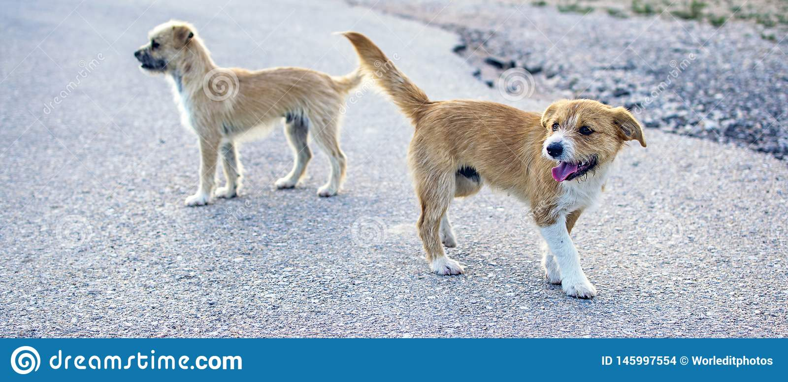 Two small stray dogs abandoned lonely on the road