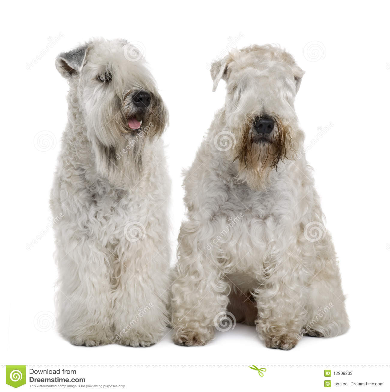 Two Soft-coated Wheaten Terriers, Sitting Stock Image - Image of ...