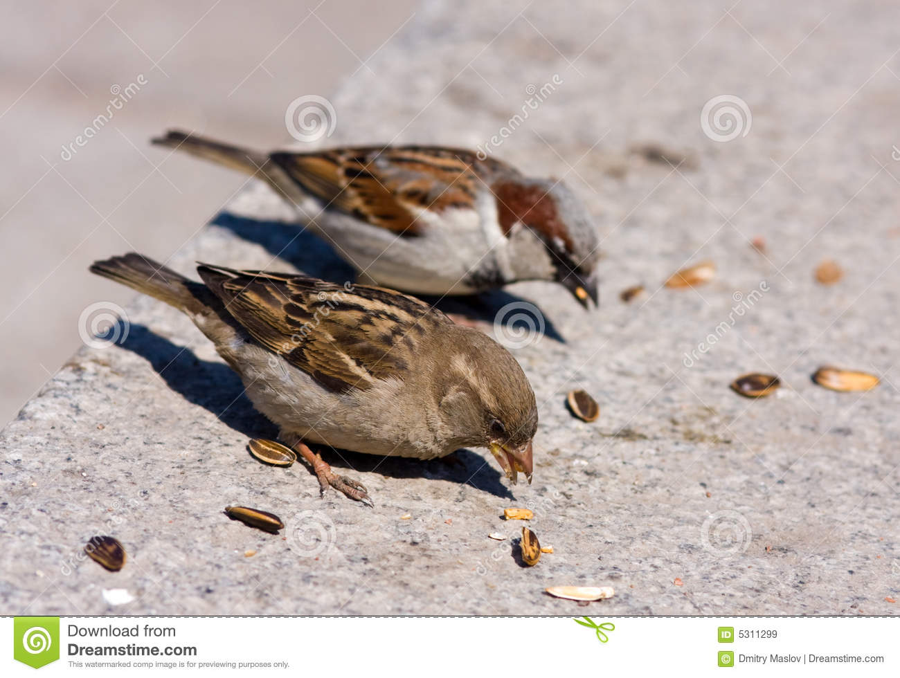 two sparrow eats sunflower seeds royalty free stock images sunflower vector art sunflower vector art black and white