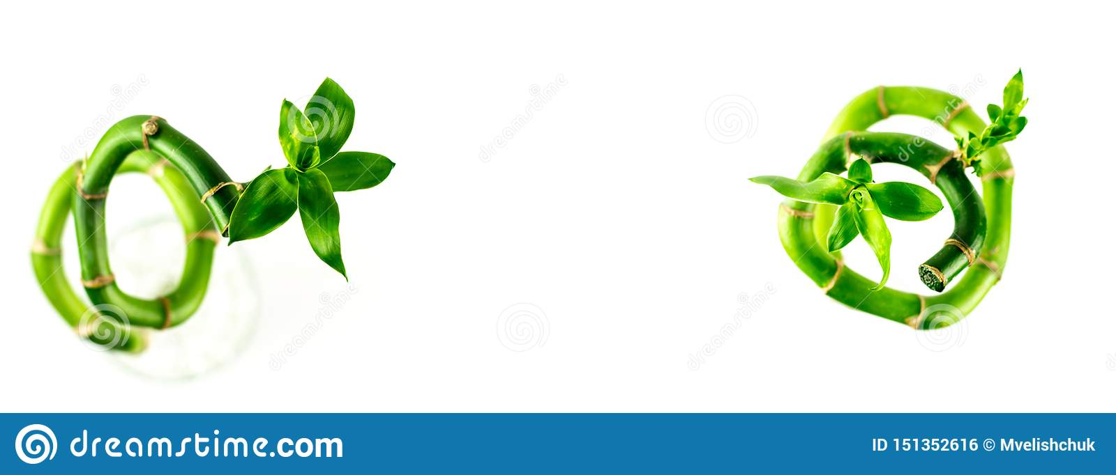 Two spiral shape stem of Lucky Bamboo Dracaena Sanderiana with green leaves, isolated on white background.