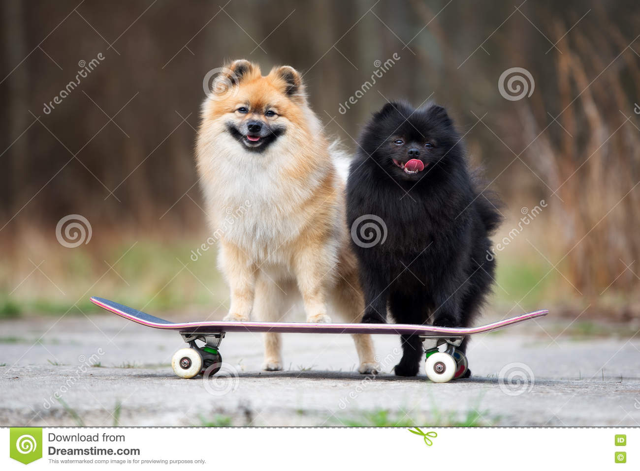 Two Spitz Dogs Standing On A Skateboard Stock Image Image