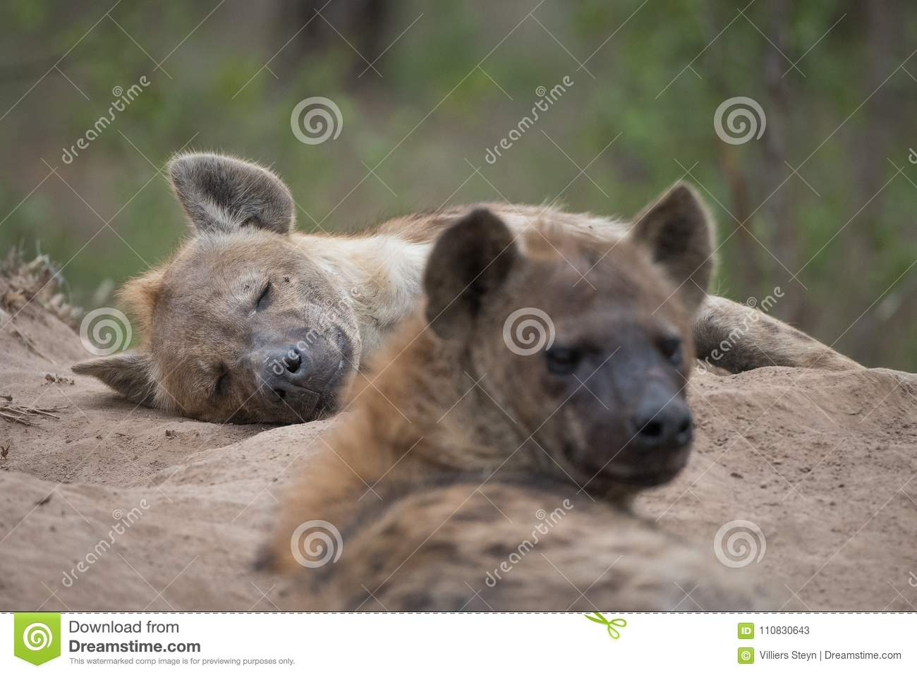 Two spotted hyenas resting at the entrance to their den.
