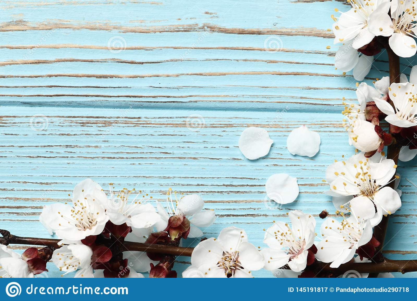 Two spring flowering branches with a lot of pink blossoms on blue wooden background