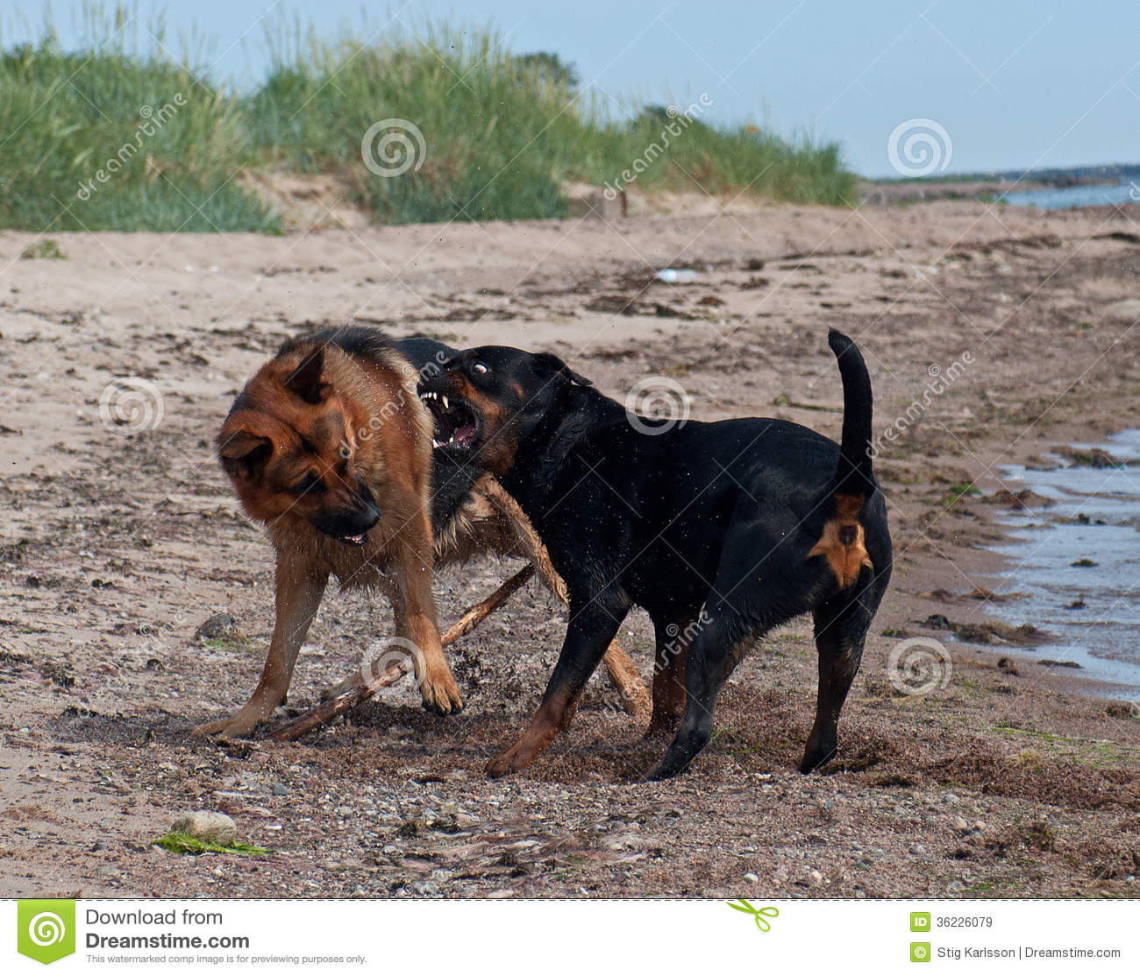 German Shepherd Dog Fight Two Strong Dogs Fighti...