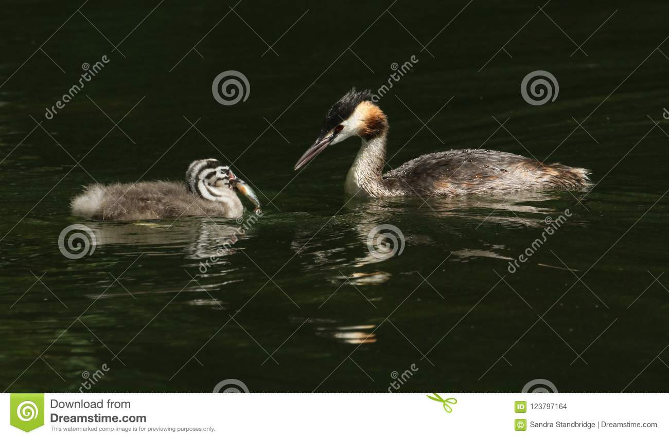 Two stunning Great Crested Grebe Podiceps cristatus swimming in a river. The parent bird has just fed the baby with a fish.