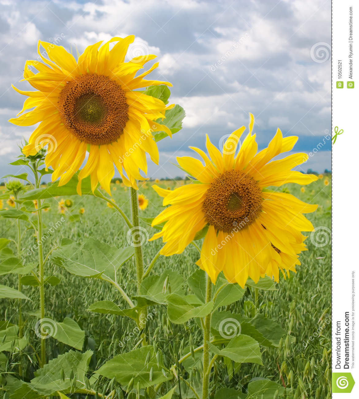 Two sunflowers stock image. Image of color, postcard ...