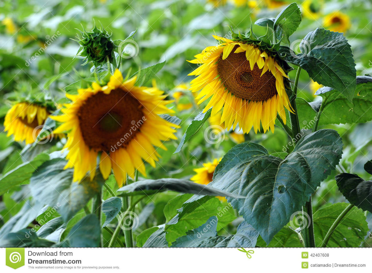 Two sunflowers in field stock photo. Image of nature ...