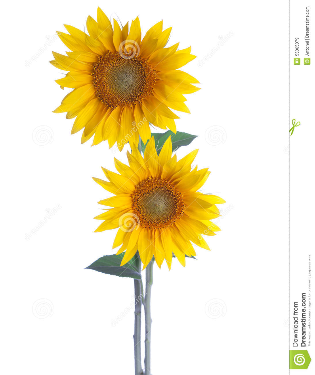 Two Sunflowers stock image. Image of color, flower, annuus ...