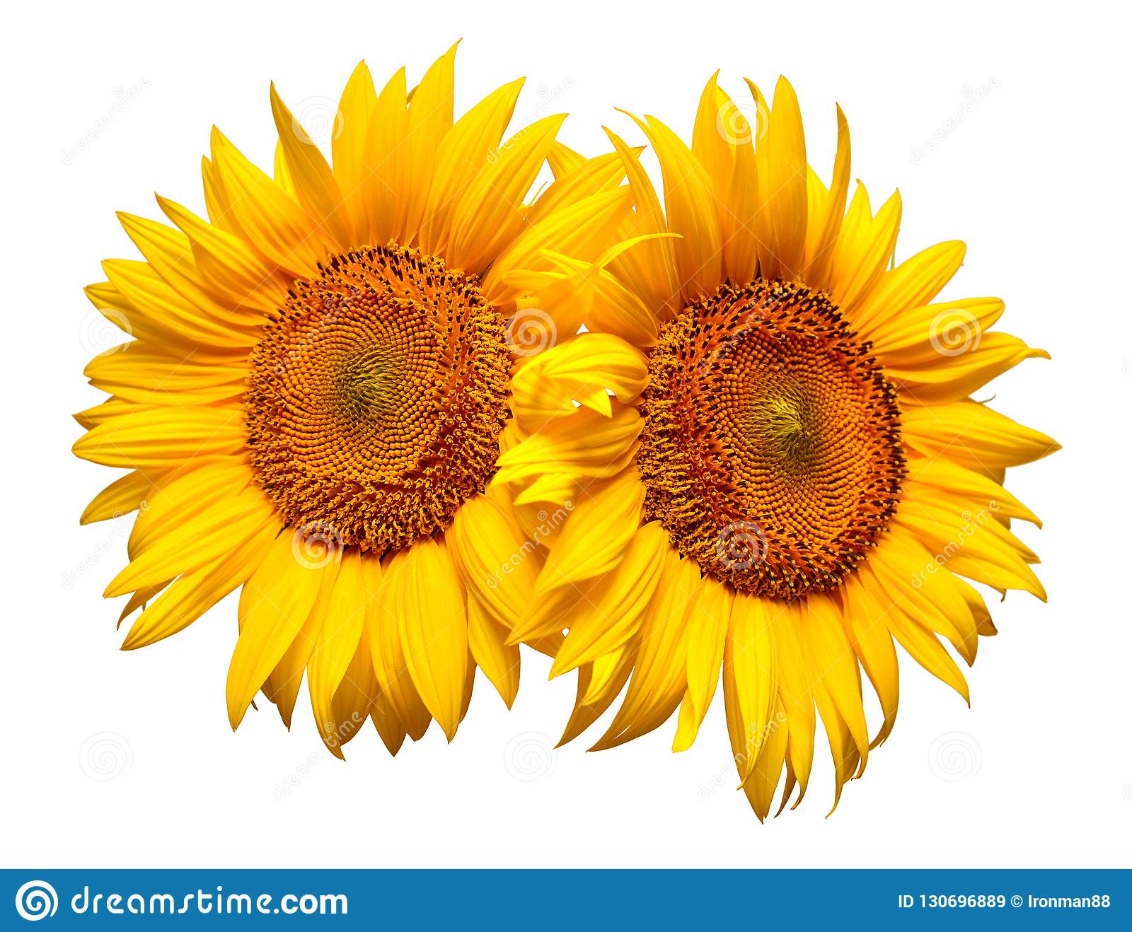 Two Sunflowers Isolated On White Background. Flower ...