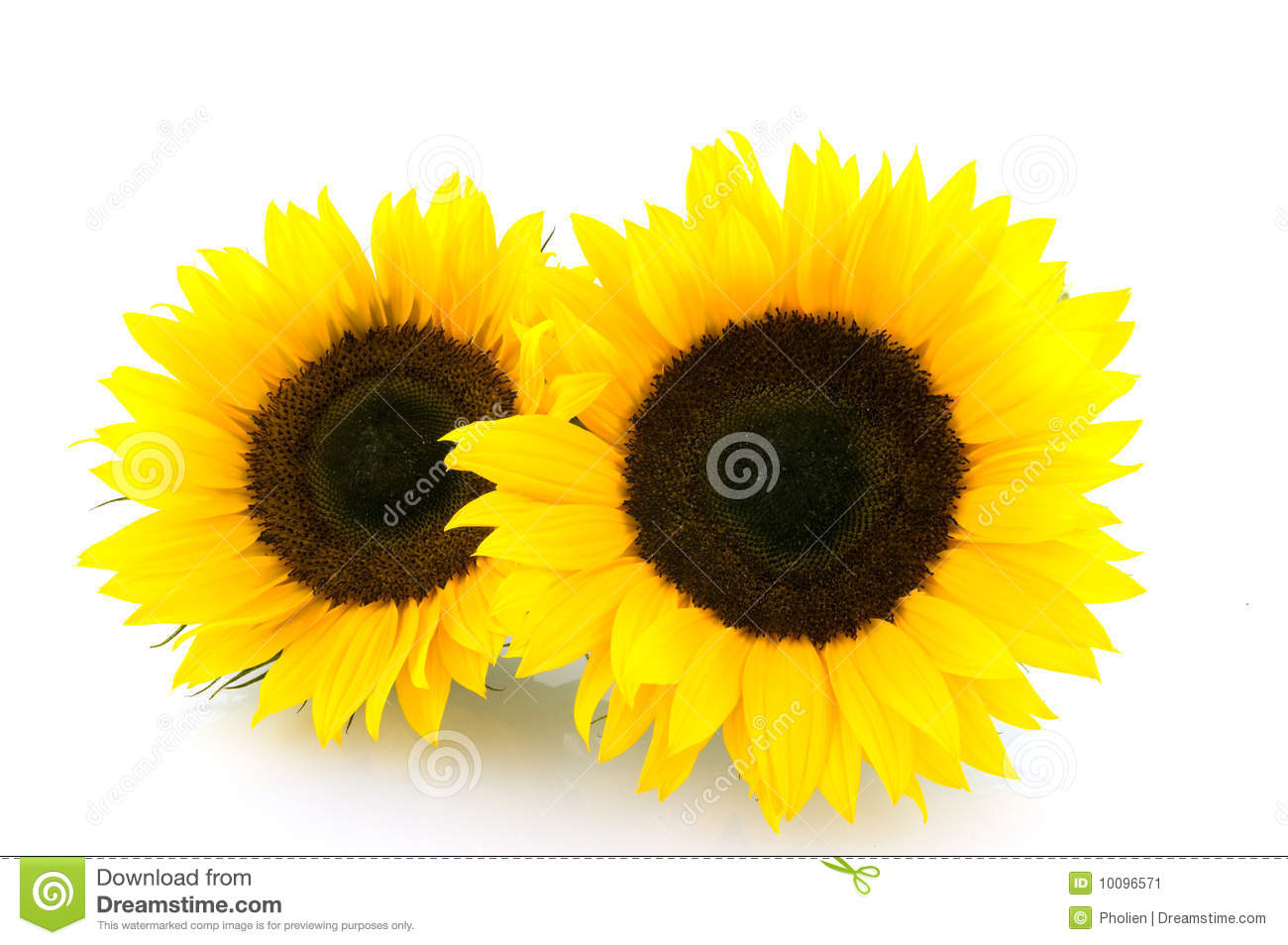 Two Sunflowers On White Background Stock Image - Image of ...