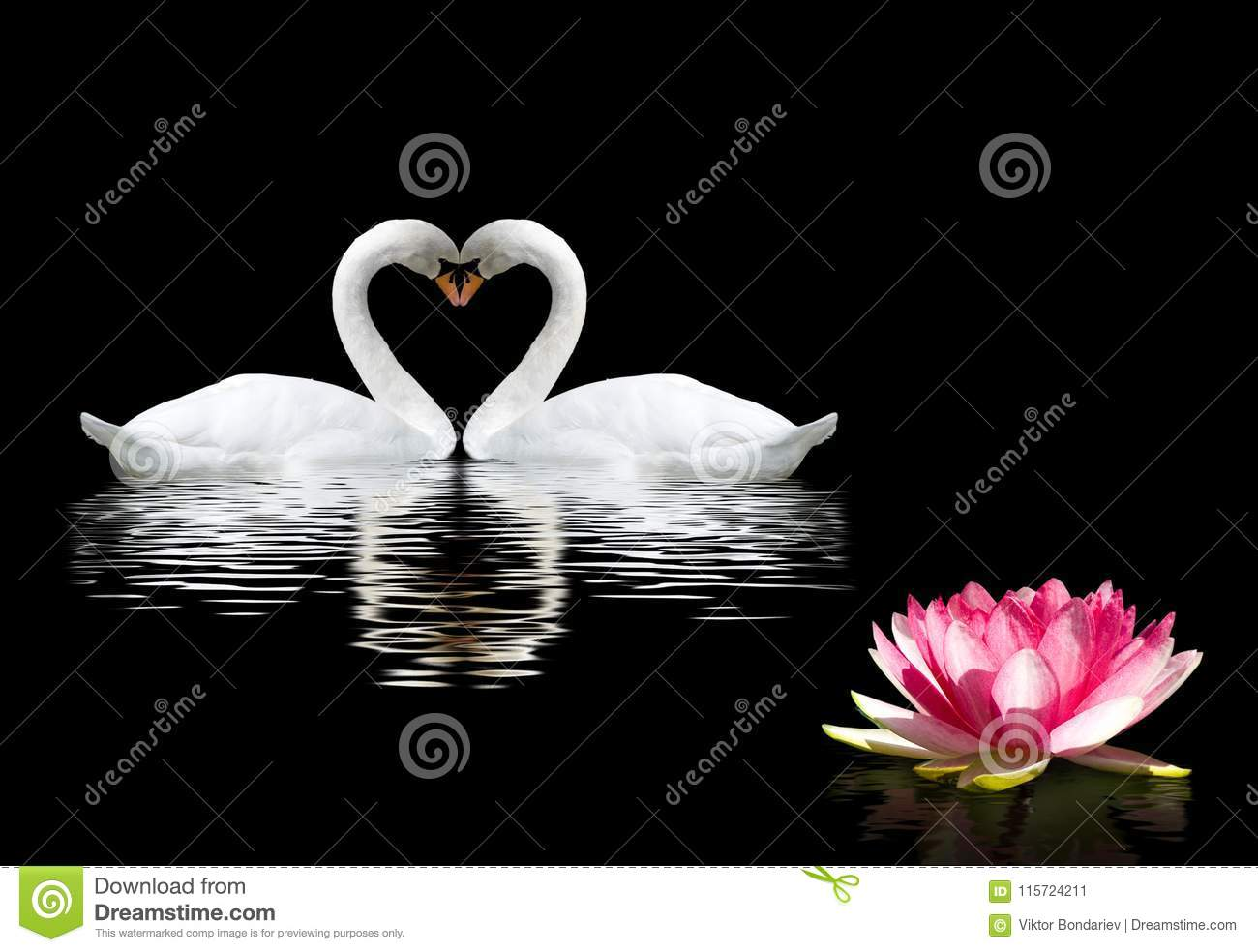 Two Swans And A Lotus Flower On The Water Stock Image Image Of