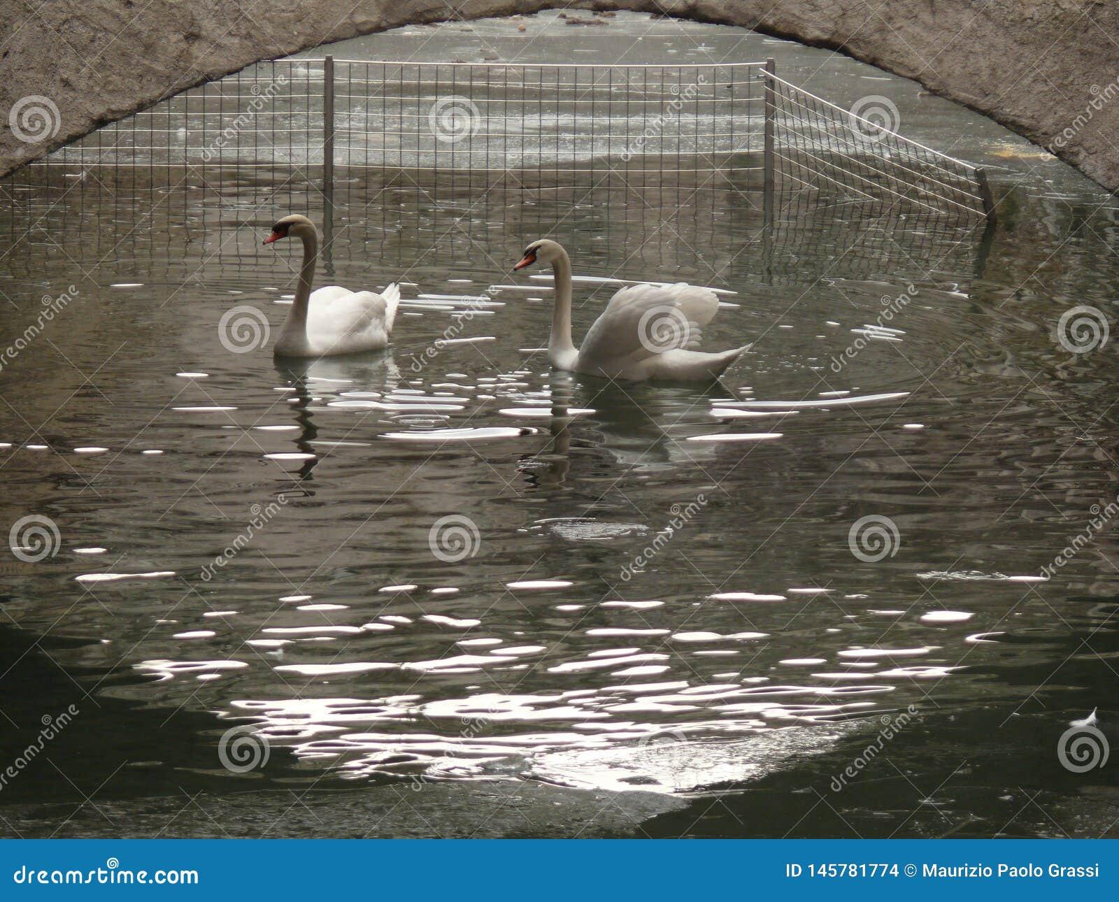 Two swans under a bridge