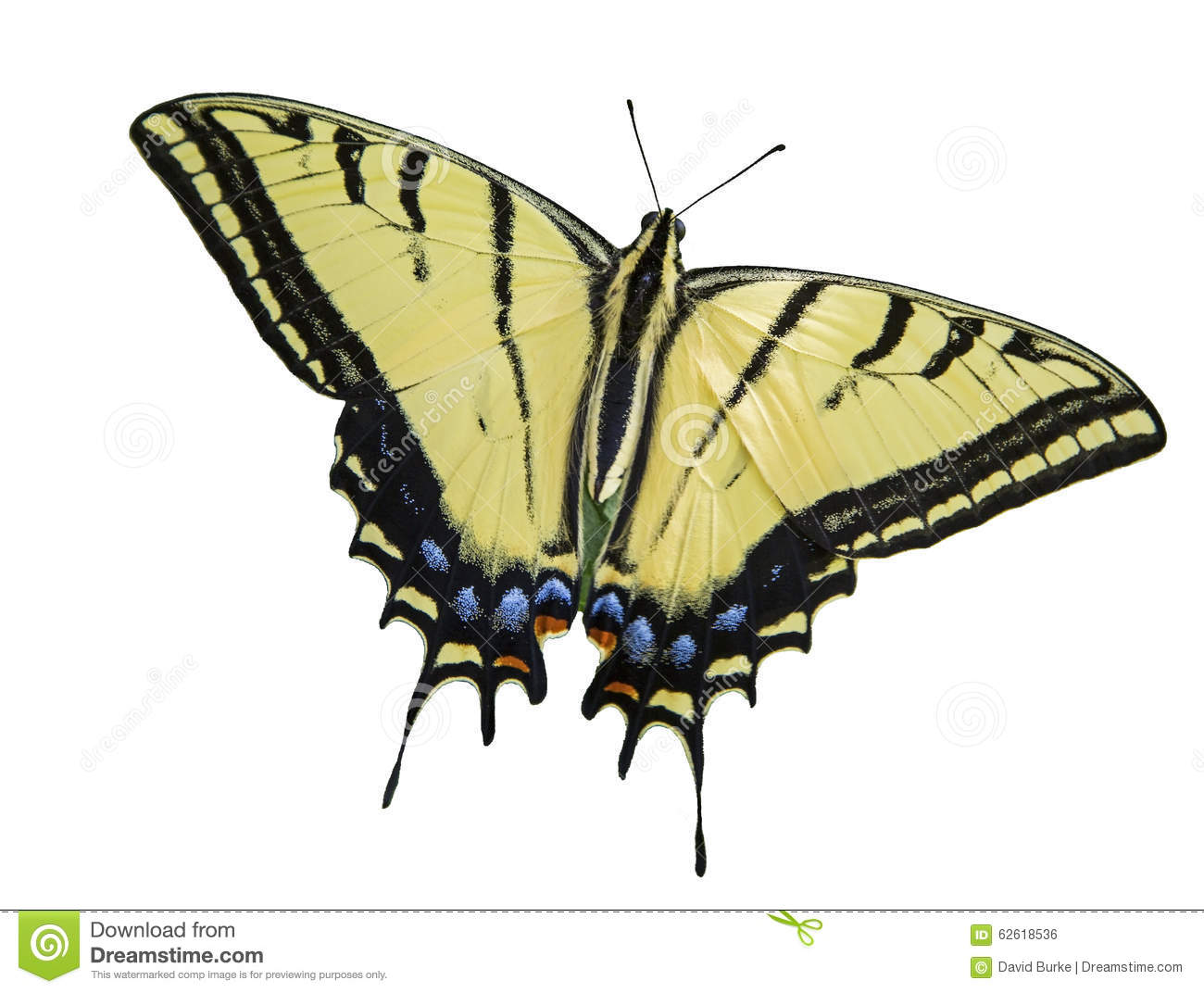 Two tailed swallowtail butterfly isolated white