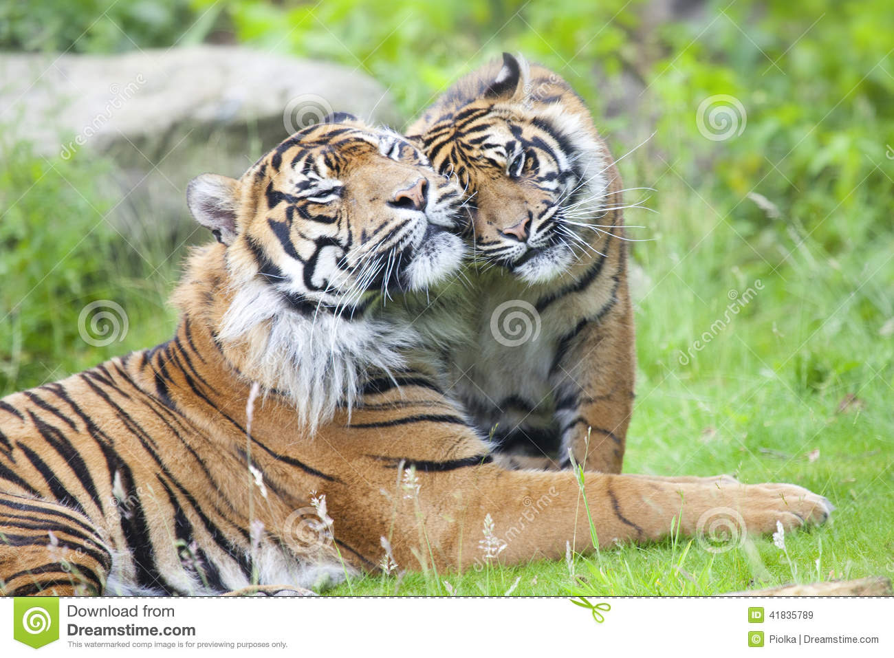 Two Tigers Together Stock Photo Image 41835789