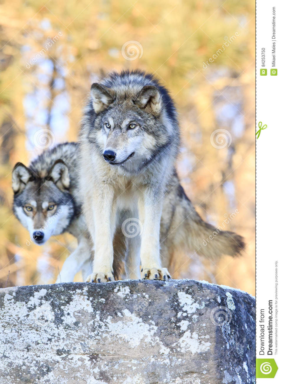 Two timber wolves on ridge