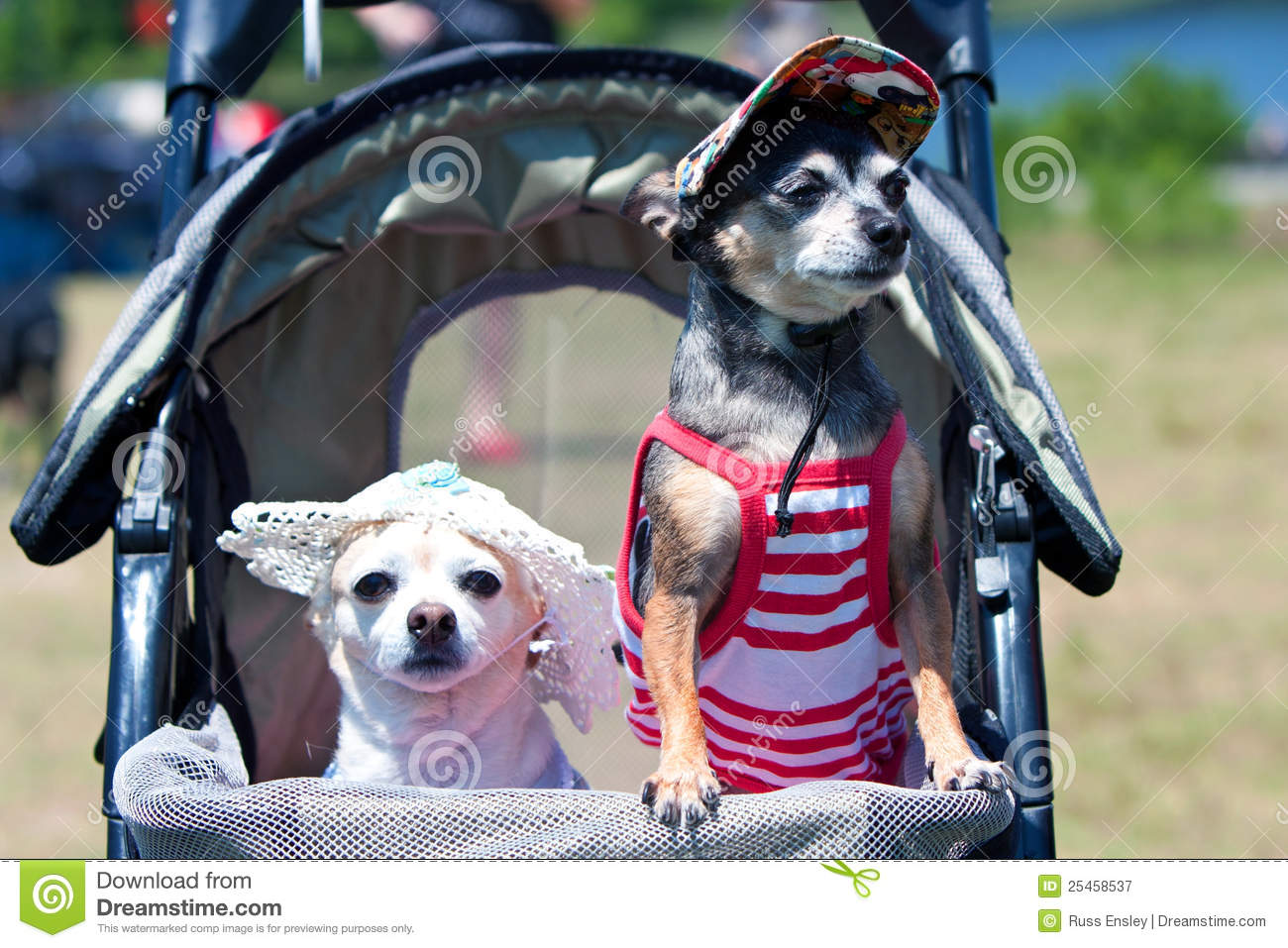 Two Tiny Dogs In Costumes Sit In Stroller Editorial