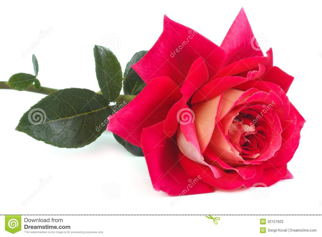 Two Tone Pink And Yellow Rose Stock Photos Image 32157923