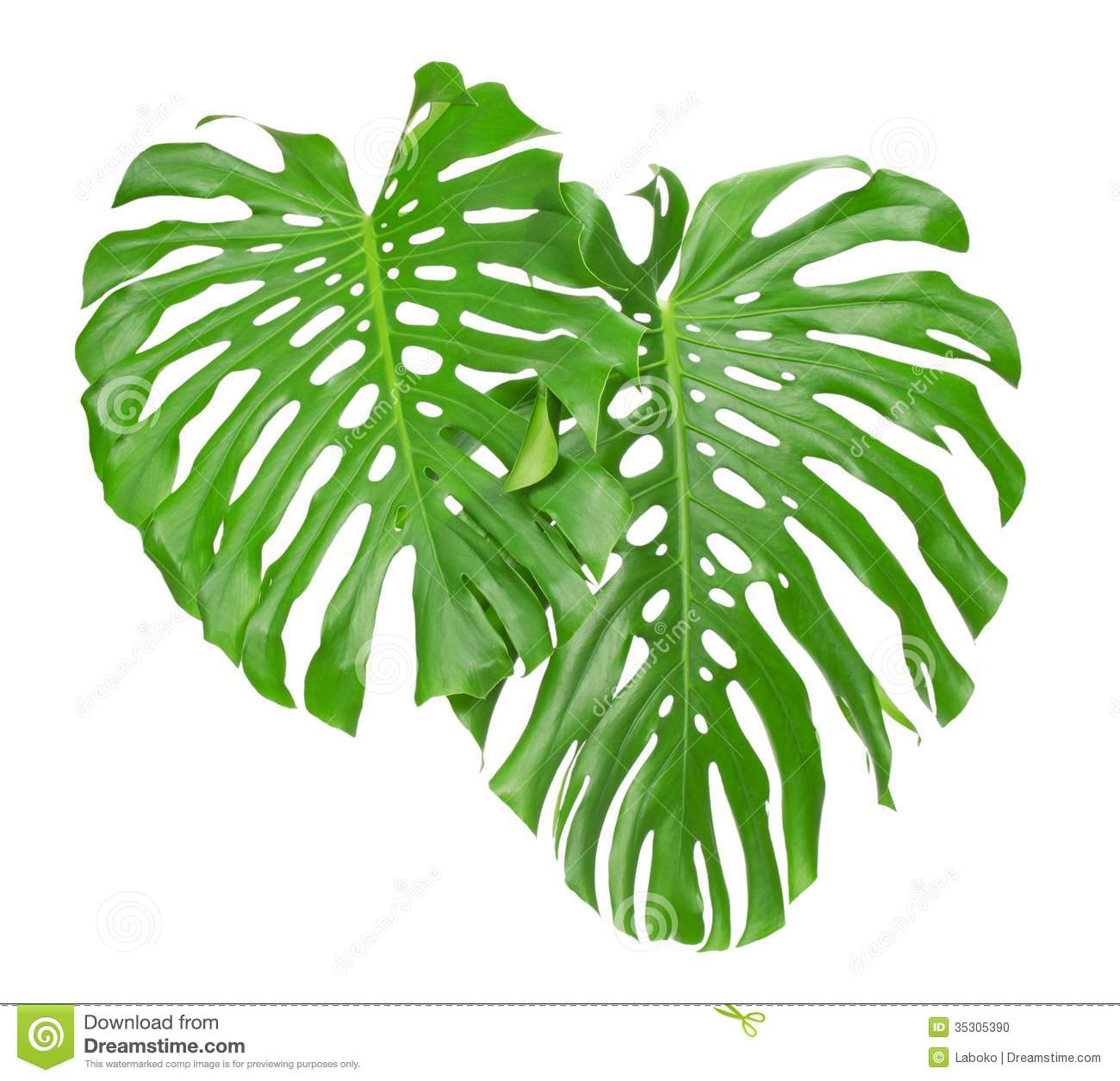 Two Tropical Leaves Stock Photo Image Of Fern Evergreen