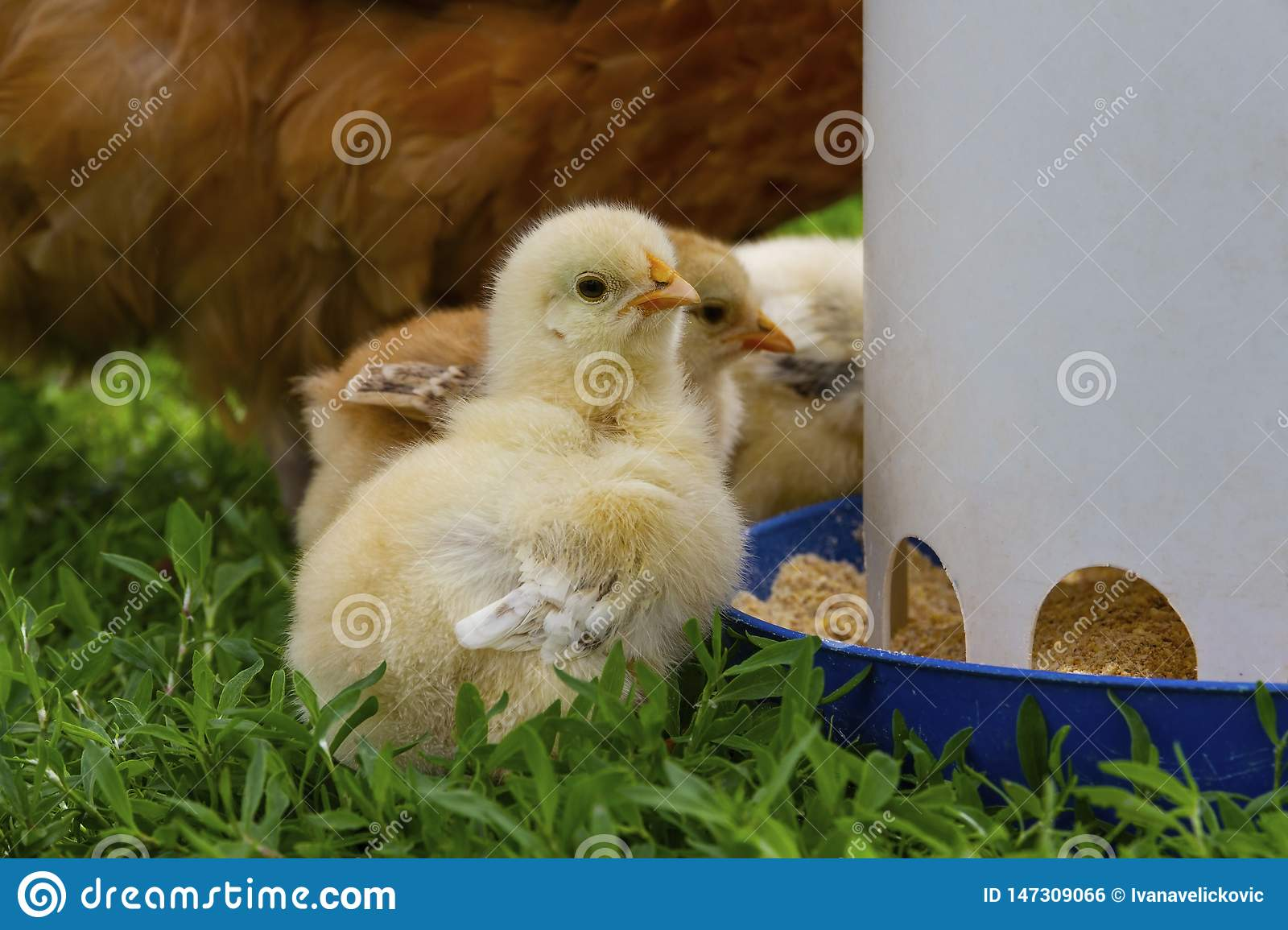 Two weeks old chicks eating from a feeder