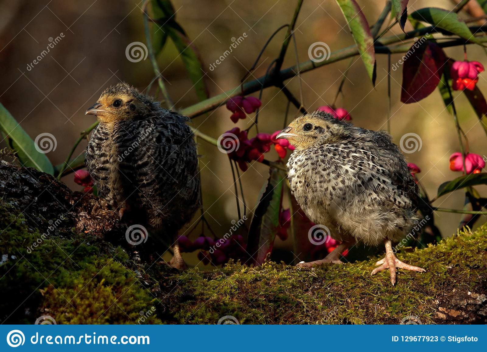 Two weeks old quail, Coturnix japonica...sitting in a Spindle tree, Euonymus planipes