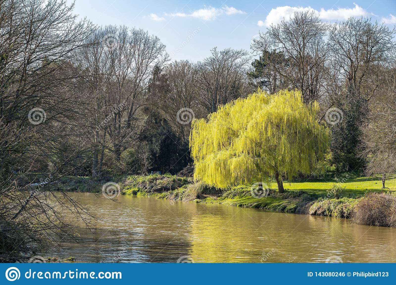 Two weeping willow trees bursting into leaf in springtime on the banks of the River Stour in Aylesford