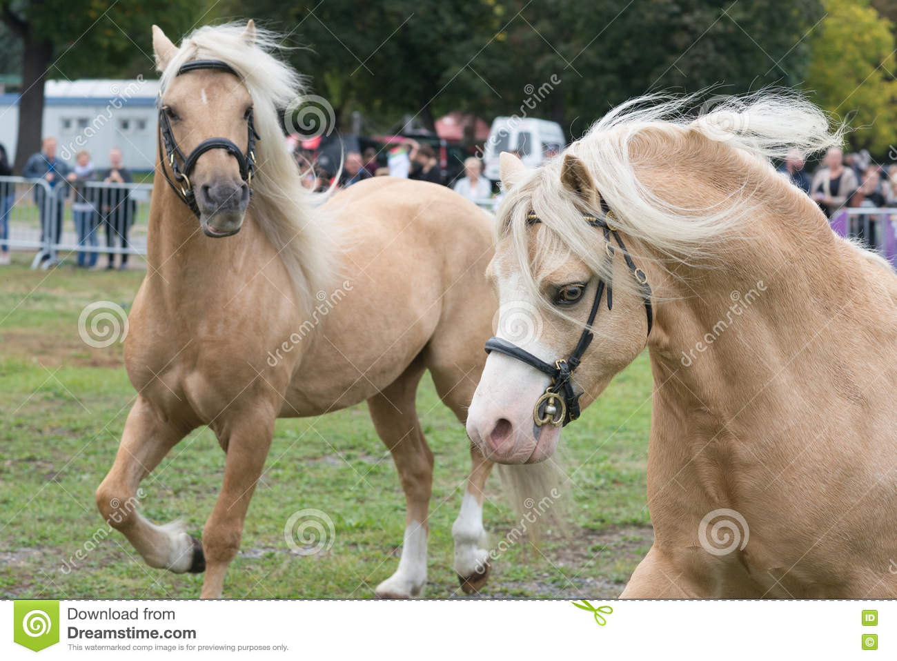Two welsh pony cob palomino horses on equestrian show in run