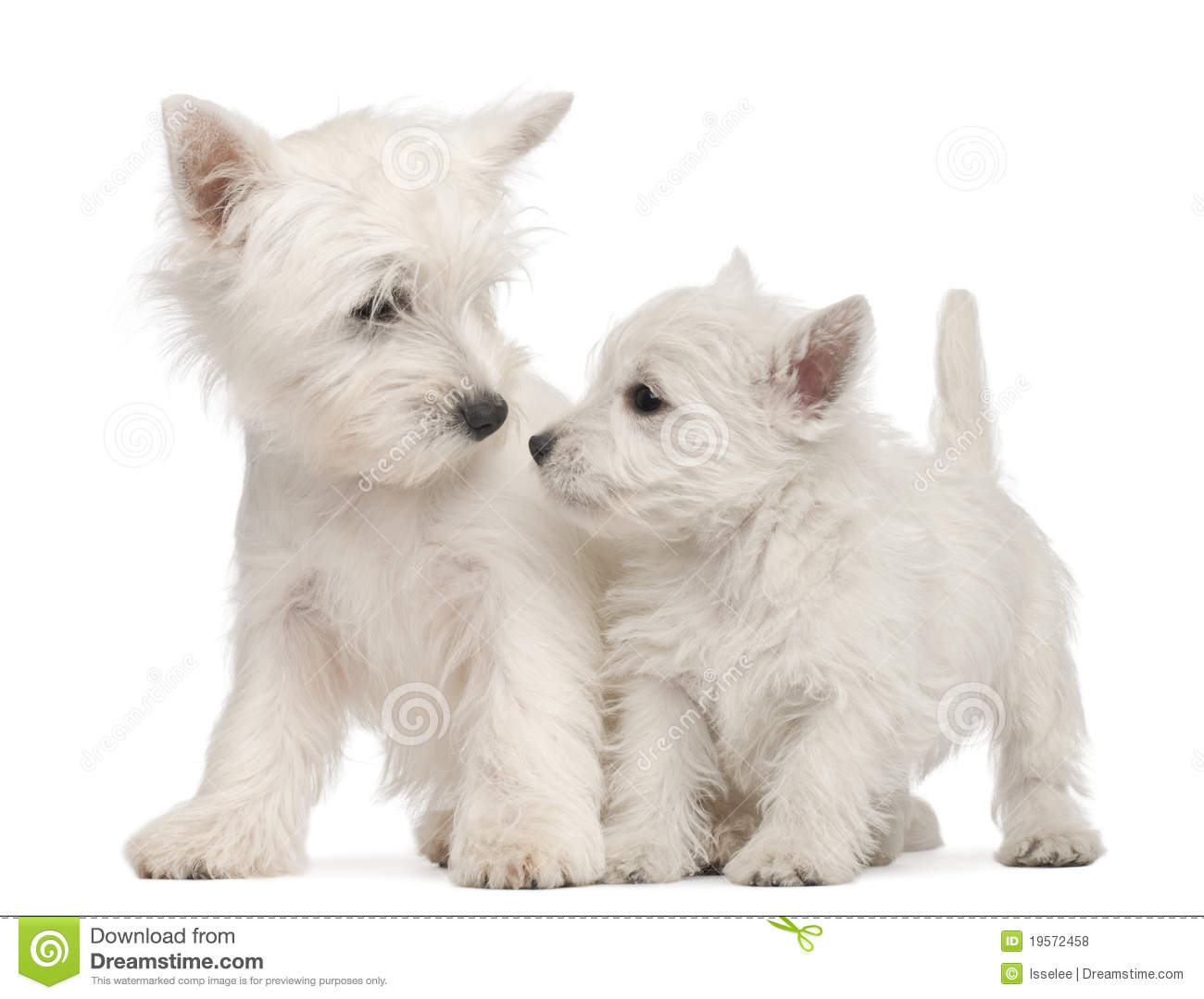 West Highland White Terrier Puppy, 4 Weeks Old Stock Photos ...