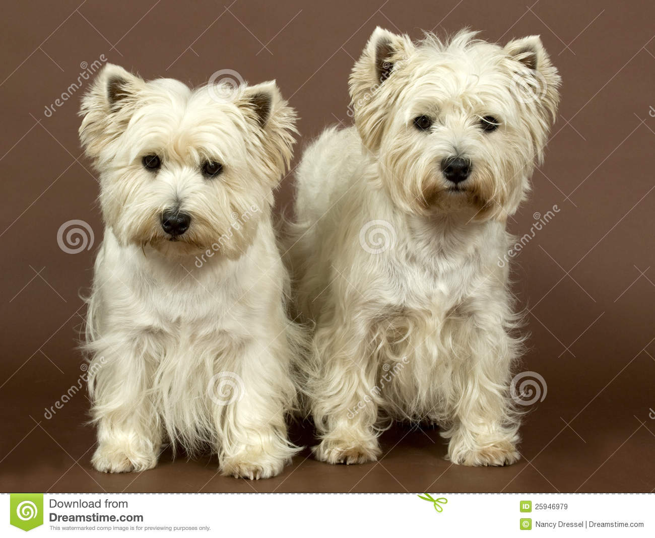 West Highland Terrier Brown Two West Highlan...