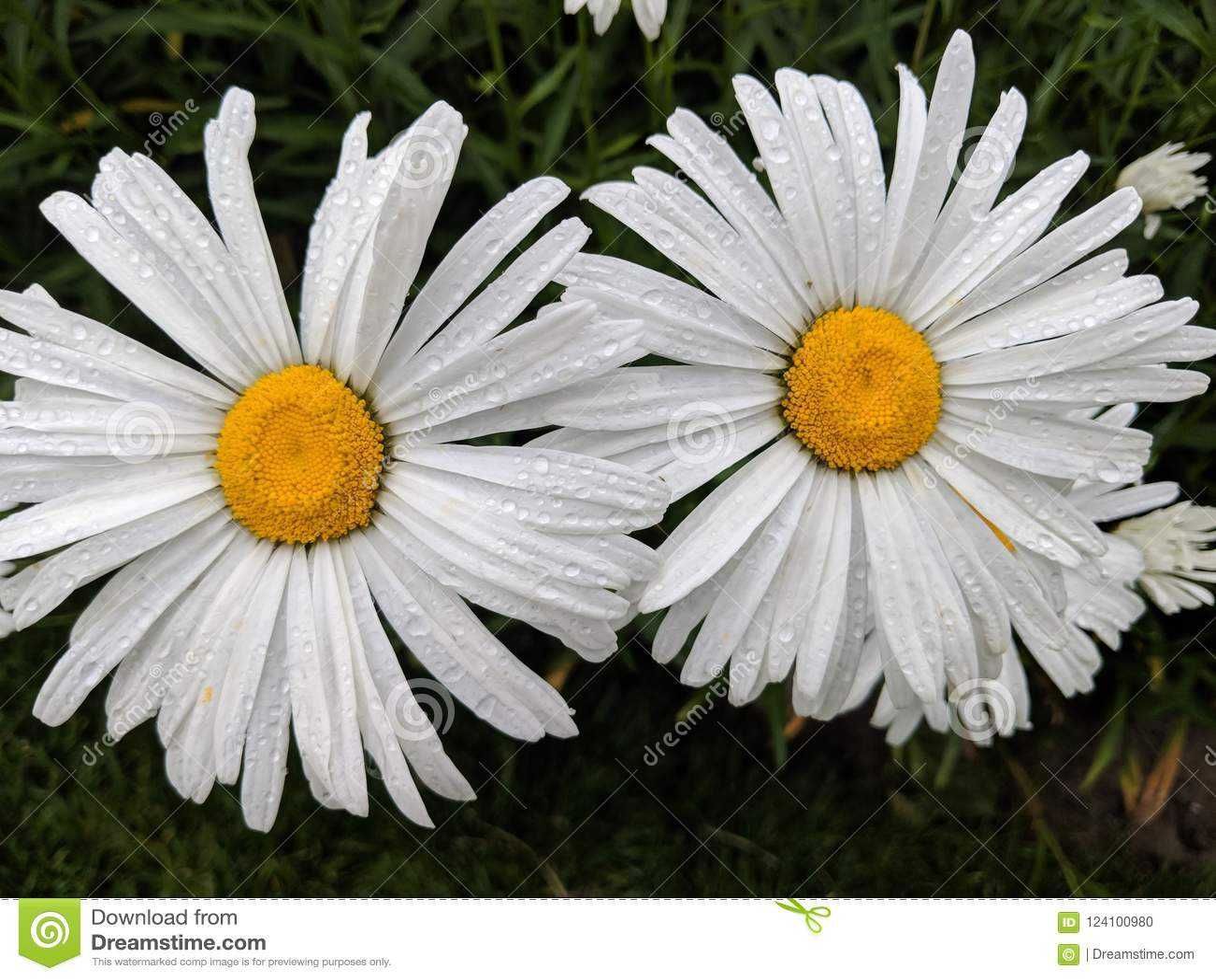 Double daisies stock photo image of double side white 124100980 download double daisies stock photo image of double side white 124100980 izmirmasajfo