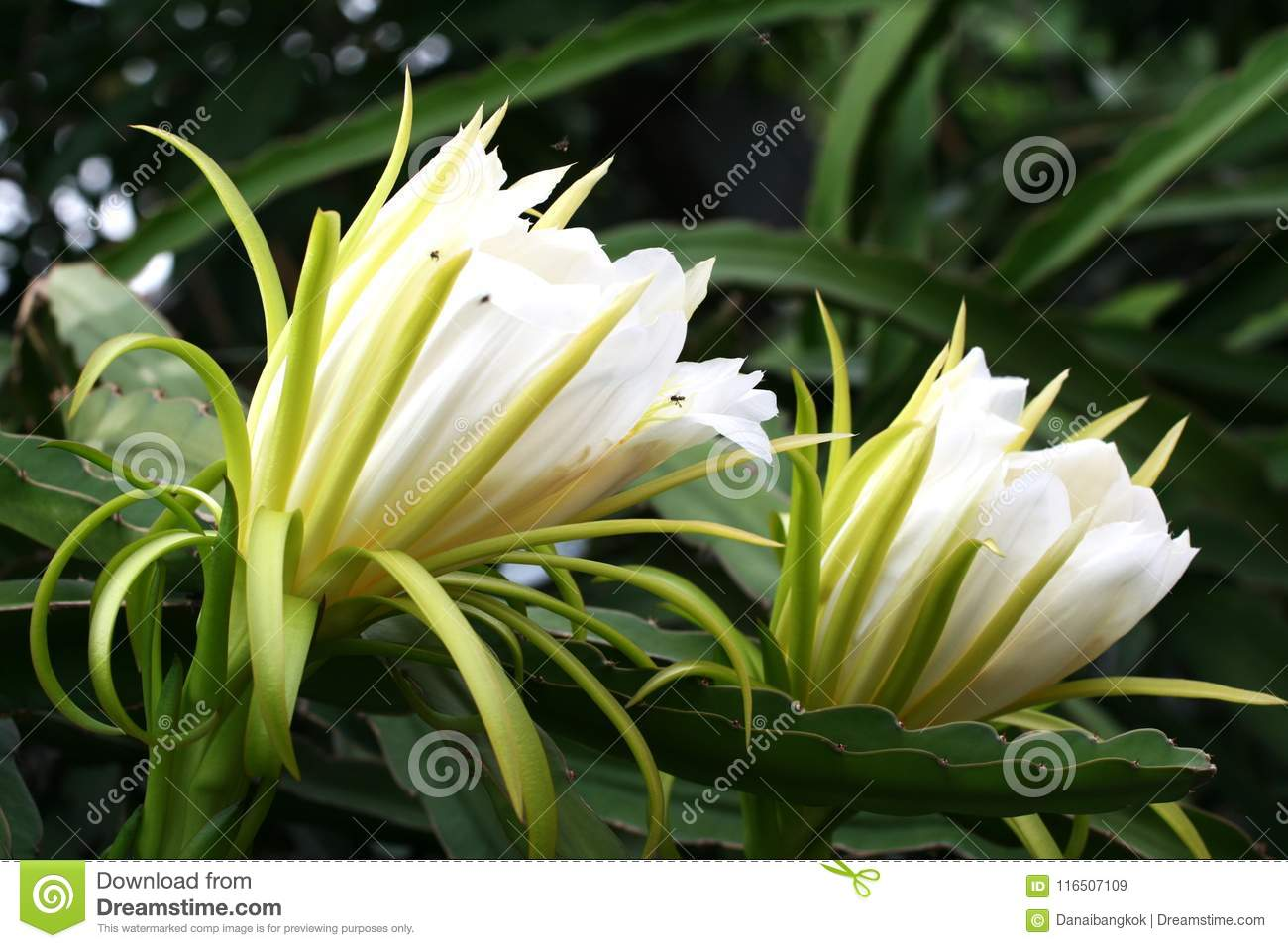 Two White Dragon Fruit Flower Against The Back Ground With Bokeh