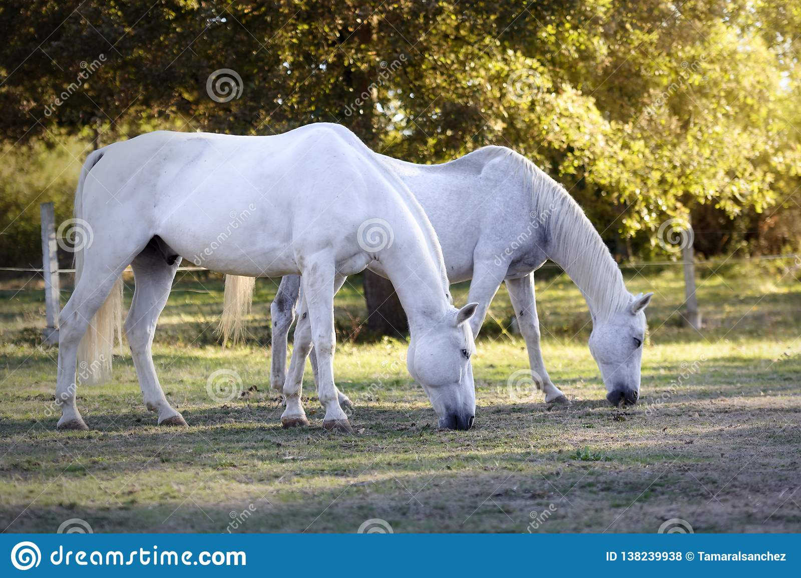 Two White Horses - Horses - Animals Paintings | 1155x1600