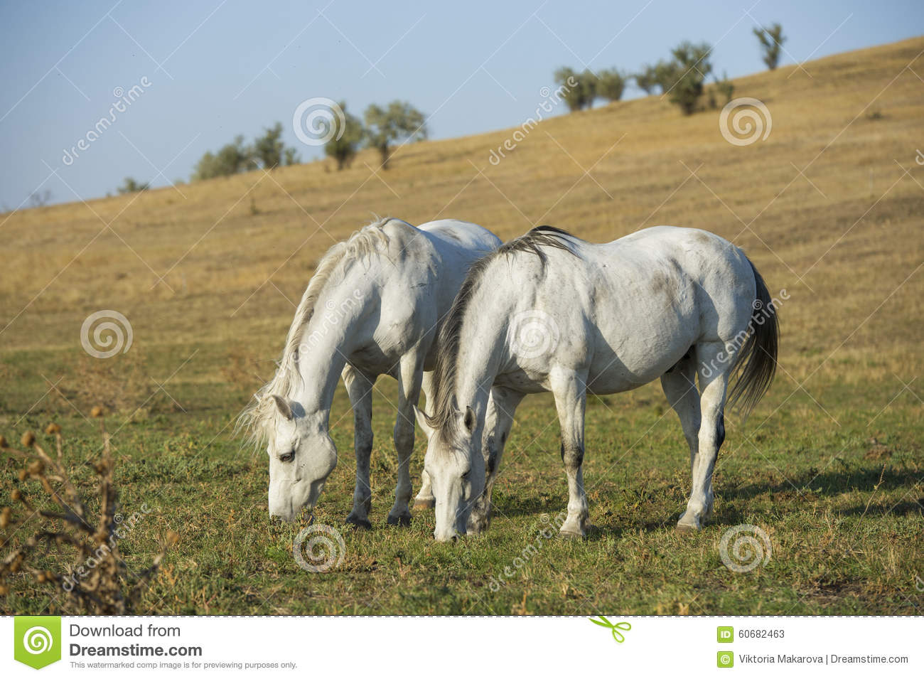 Two white horses portrait on natural background