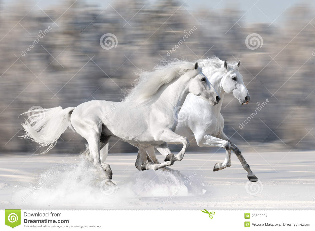 Two White Horses In Winter Run Gallop Stock Photo Image Of Power