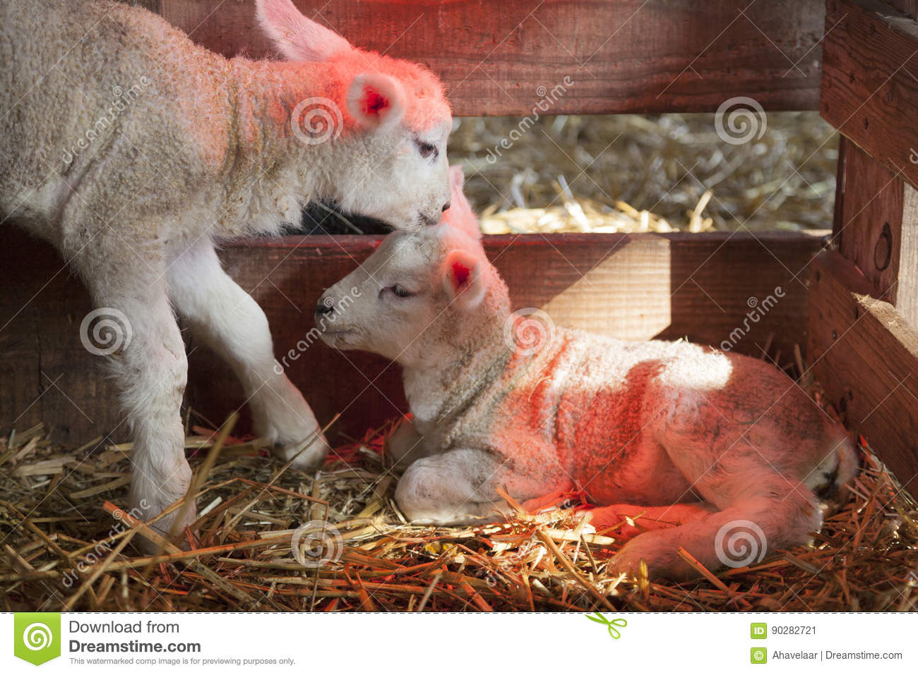 Two White Lambs Under Heat Lamp In Barn Of Organic Farm In Holla ...