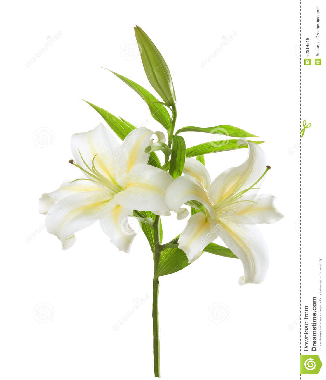 two white lilies stock photo image 62814519. Black Bedroom Furniture Sets. Home Design Ideas