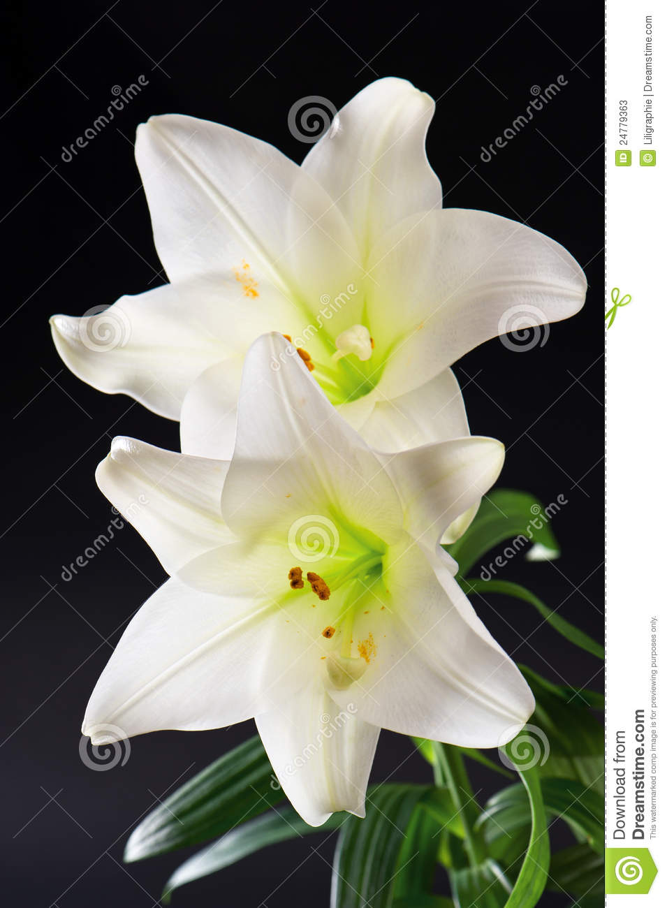 Two white lily flowers on black stock image image of spring download comp izmirmasajfo